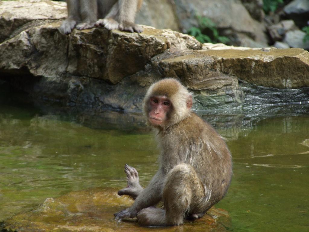 地獄谷野猿公苑 臨時休苑のお知らせ The Snow Monkey Park temporary closure